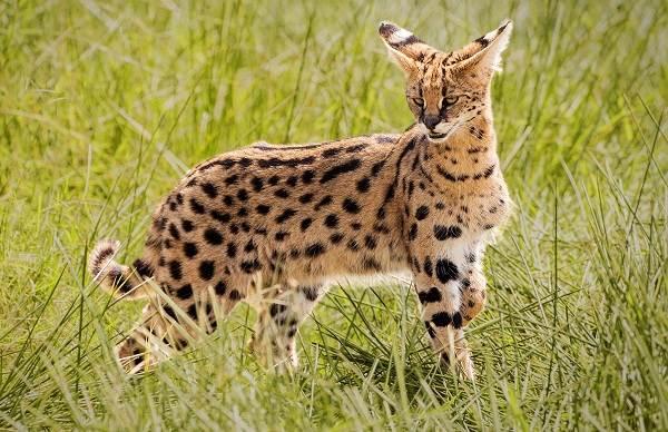 Сервал-животное-Описание-особенности-виды-образ-жизни-и-среда-обитания-сервала-13