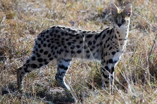 Сервал-животное-Описание-особенности-виды-образ-жизни-и-среда-обитания-сервала-15
