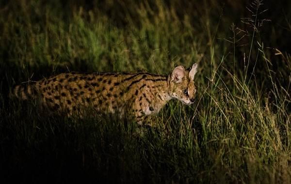 Сервал-животное-Описание-особенности-виды-образ-жизни-и-среда-обитания-сервала-16