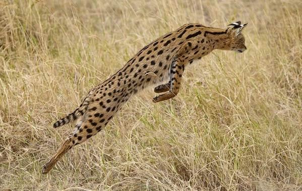 Сервал-животное-Описание-особенности-виды-образ-жизни-и-среда-обитания-сервала-18