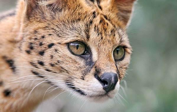 Сервал-животное-Описание-особенности-виды-образ-жизни-и-среда-обитания-сервала-2