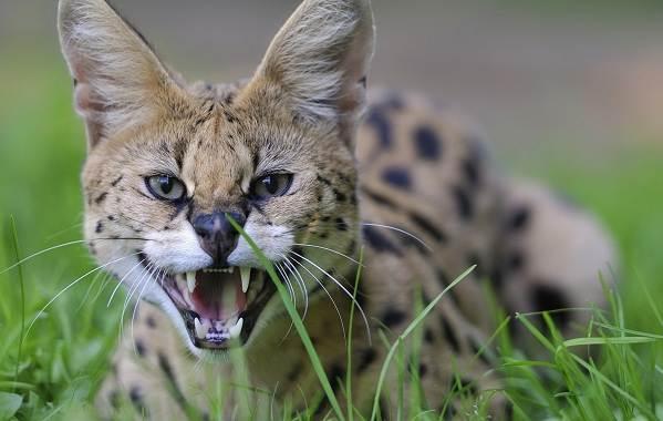 Сервал-животное-Описание-особенности-виды-образ-жизни-и-среда-обитания-сервала-3