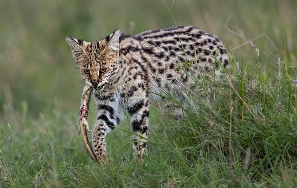 Сервал-животное-Описание-особенности-виды-образ-жизни-и-среда-обитания-сервала-6
