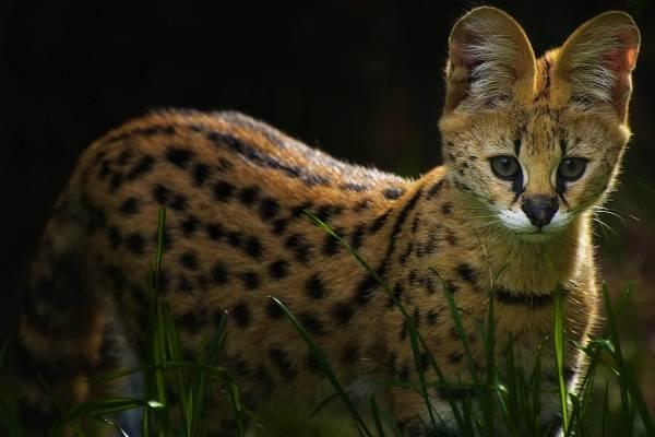 Сервал-животное-Описание-особенности-виды-образ-жизни-и-среда-обитания-сервала-8