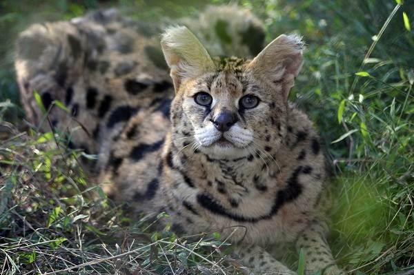 Сервал-животное-Описание-особенности-виды-образ-жизни-и-среда-обитания-сервала-9