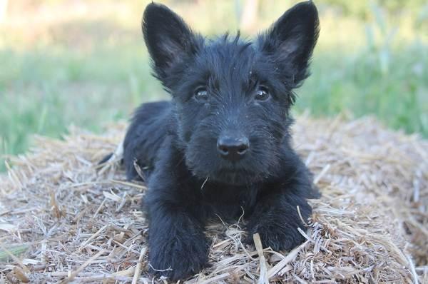 Скотч-терьер-собака-Описание-особенности-виды-уход-и-цена-породы-скотч-терьер-13