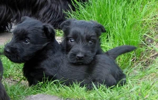 Скотч-терьер-собака-Описание-особенности-виды-уход-и-цена-породы-скотч-терьер-14
