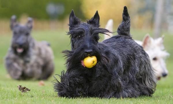 Скотч-терьер-собака-Описание-особенности-виды-уход-и-цена-породы-скотч-терьер-15