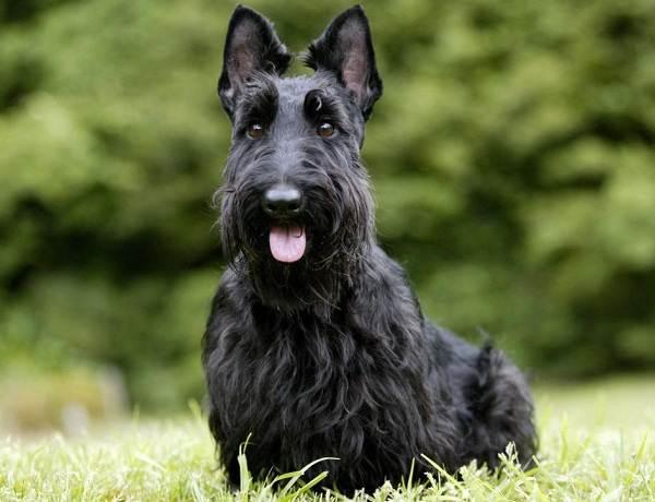 Скотч-терьер-собака-Описание-особенности-виды-уход-и-цена-породы-скотч-терьер-16
