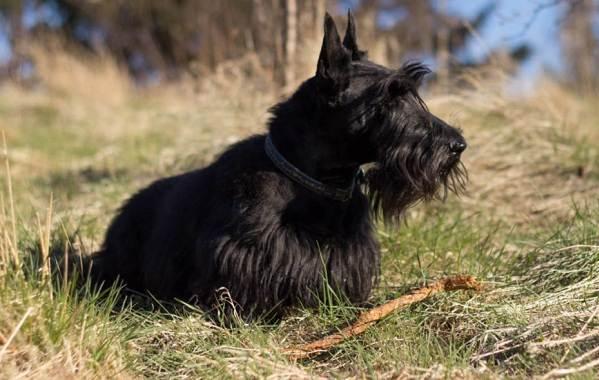 Скотч-терьер-собака-Описание-особенности-виды-уход-и-цена-породы-скотч-терьер-2