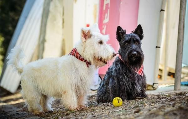 Скотч-терьер-собака-Описание-особенности-виды-уход-и-цена-породы-скотч-терьер-3