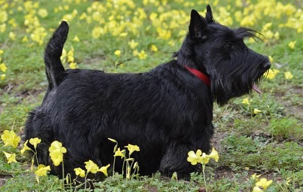 Скотч-терьер-собака-Описание-особенности-виды-уход-и-цена-породы-скотч-терьер-4