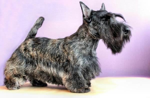 Скотч-терьер-собака-Описание-особенности-виды-уход-и-цена-породы-скотч-терьер-7