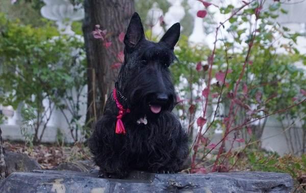 Скотч-терьер-собака-Описание-особенности-виды-уход-и-цена-породы-скотч-терьер-8