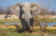 Слон животное. Описание, особенности, виды, образ жизни и среда обитания слона