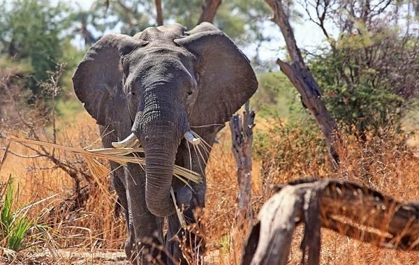 Слон-животное-Описание-особенности-виды-образ-жизни-и-среда-обитания-слона-10