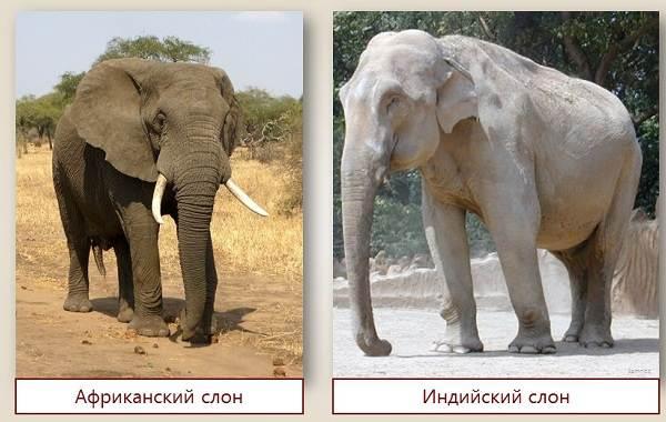 индийский и африканский слоны