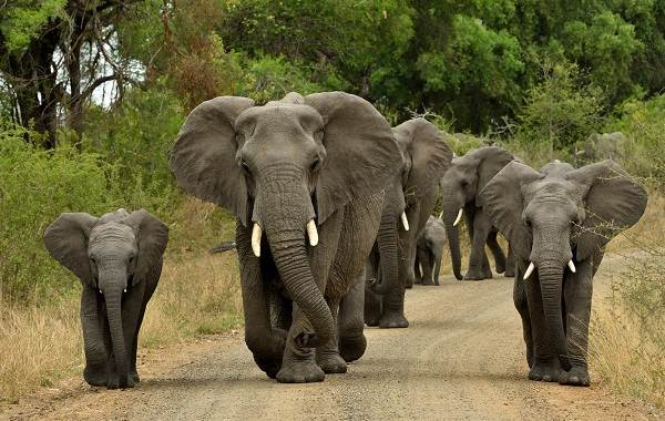 Слон-животное-Описание-особенности-виды-образ-жизни-и-среда-обитания-слона-12