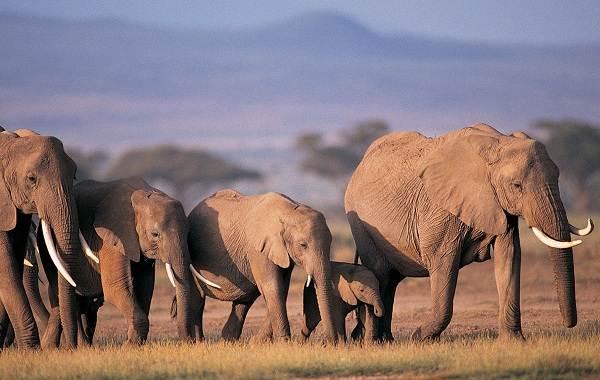 Слон-животное-Описание-особенности-виды-образ-жизни-и-среда-обитания-слона-13