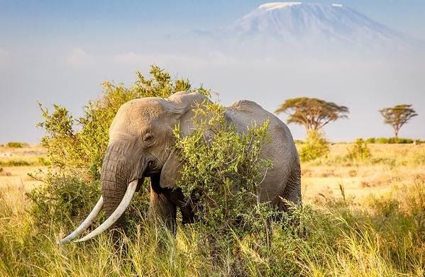 Слон-животное-Описание-особенности-виды-образ-жизни-и-среда-обитания-слона-14