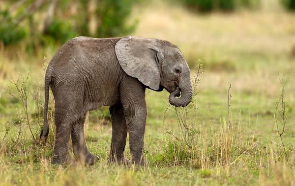 Слон-животное-Описание-особенности-виды-образ-жизни-и-среда-обитания-слона-16