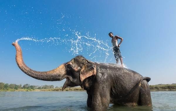 Слон-животное-Описание-особенности-виды-образ-жизни-и-среда-обитания-слона-17