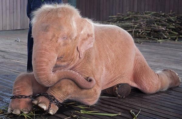 Слон-животное-Описание-особенности-виды-образ-жизни-и-среда-обитания-слона-19