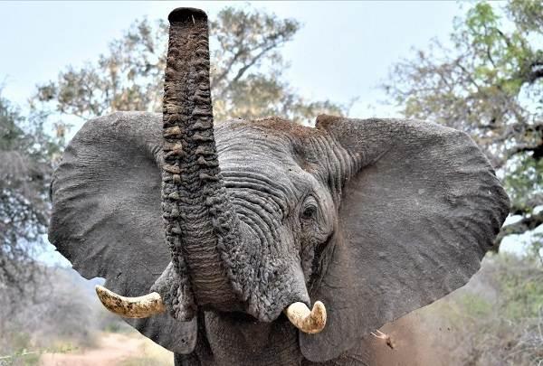 Слон-животное-Описание-особенности-виды-образ-жизни-и-среда-обитания-слона-2