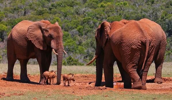 Слон-животное-Описание-особенности-виды-образ-жизни-и-среда-обитания-слона-3