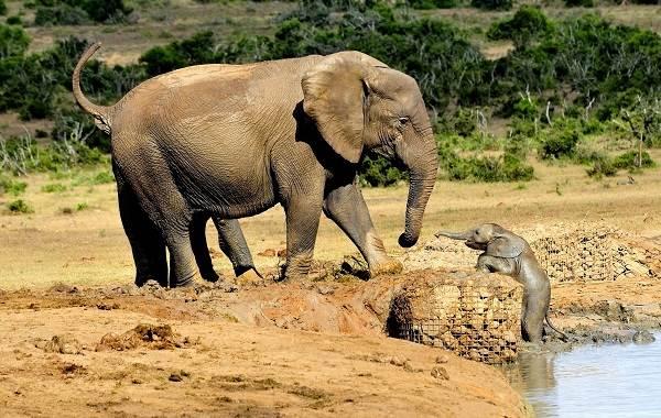 Слон-животное-Описание-особенности-виды-образ-жизни-и-среда-обитания-слона-4