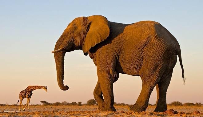 Слон-животное-Описание-особенности-виды-образ-жизни-и-среда-обитания-слона-8