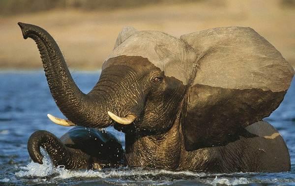 Слон-животное-Описание-особенности-виды-образ-жизни-и-среда-обитания-слона-9