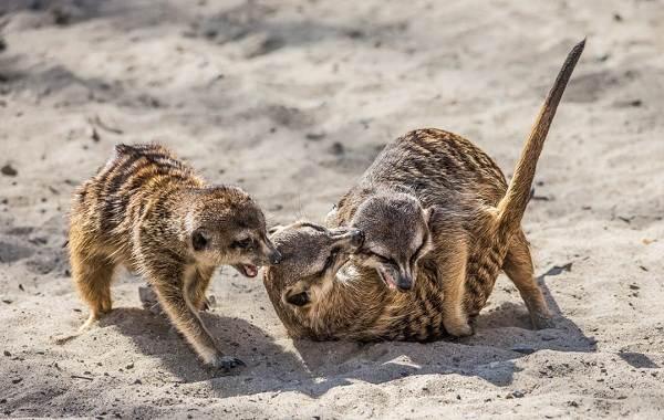 Сурикат-животное-Описание-особенности-виды-образ-жизни-и-среда-обитания-суриката-10