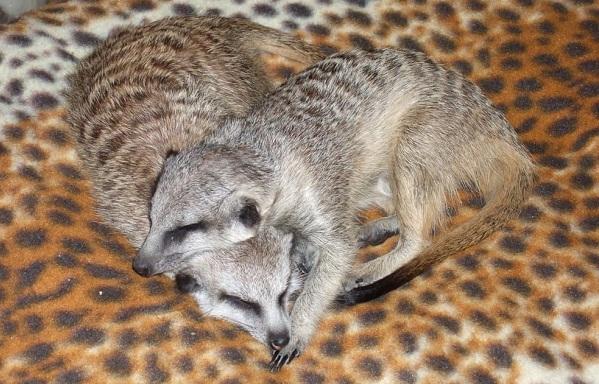 Сурикат-животное-Описание-особенности-виды-образ-жизни-и-среда-обитания-суриката-16