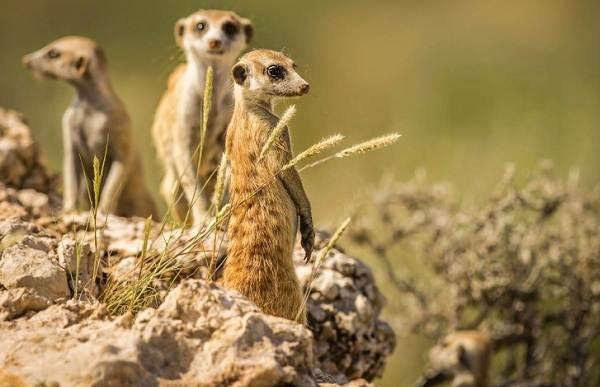 Сурикат-животное-Описание-особенности-виды-образ-жизни-и-среда-обитания-суриката-3