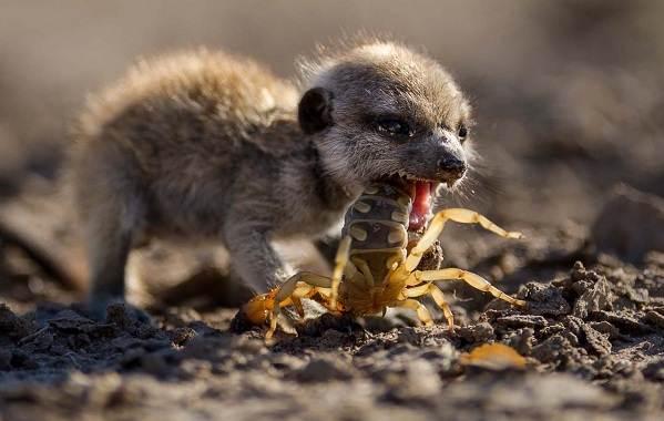 Сурикат-животное-Описание-особенности-виды-образ-жизни-и-среда-обитания-суриката-7
