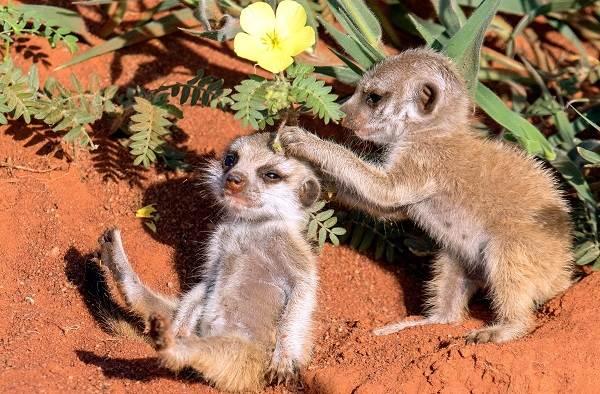 Сурикат-животное-Описание-особенности-виды-образ-жизни-и-среда-обитания-суриката-8