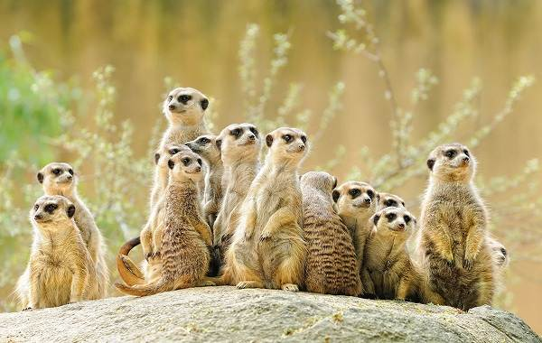 Сурикат-животное-Описание-особенности-виды-образ-жизни-и-среда-обитания-суриката-9