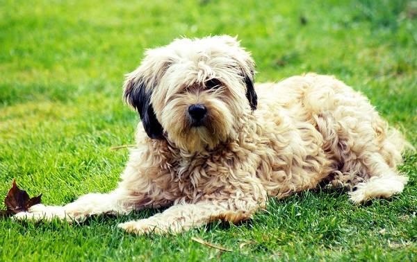 Тибетский-терьер-собака-Описание-особенности-виды-цена-и-уход-за-породой-1