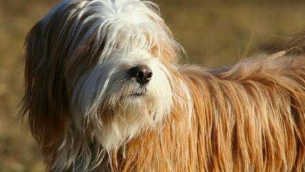 Тибетский терьер собака. Описание, особенности, виды, цена и уход за породой