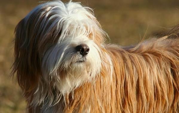 Тибетский-терьер-собака-Описание-особенности-виды-цена-и-уход-за-породой-10