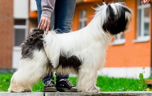Тибетский-терьер-собака-Описание-особенности-виды-цена-и-уход-за-породой-11