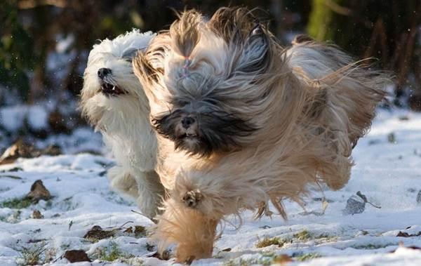 Тибетский-терьер-собака-Описание-особенности-виды-цена-и-уход-за-породой-12