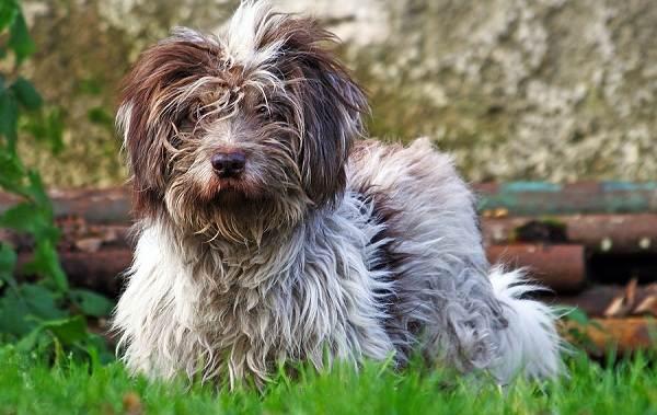 Тибетский-терьер-собака-Описание-особенности-виды-цена-и-уход-за-породой-14