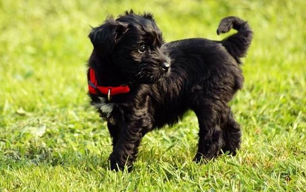 Тибетский-терьер-собака-Описание-особенности-виды-цена-и-уход-за-породой-15