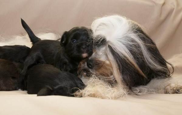 Тибетский-терьер-собака-Описание-особенности-виды-цена-и-уход-за-породой-16