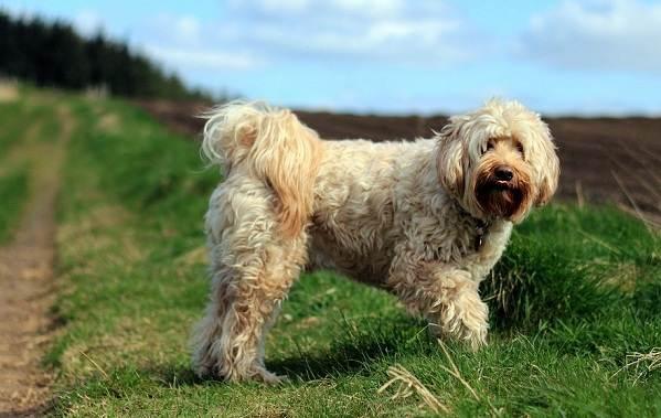 Тибетский-терьер-собака-Описание-особенности-виды-цена-и-уход-за-породой-17