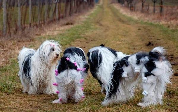 Тибетский-терьер-собака-Описание-особенности-виды-цена-и-уход-за-породой-18