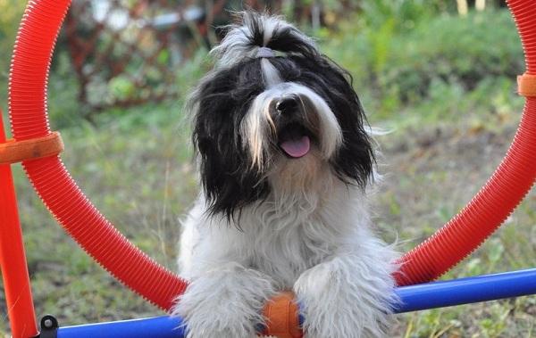 Тибетский-терьер-собака-Описание-особенности-виды-цена-и-уход-за-породой-19