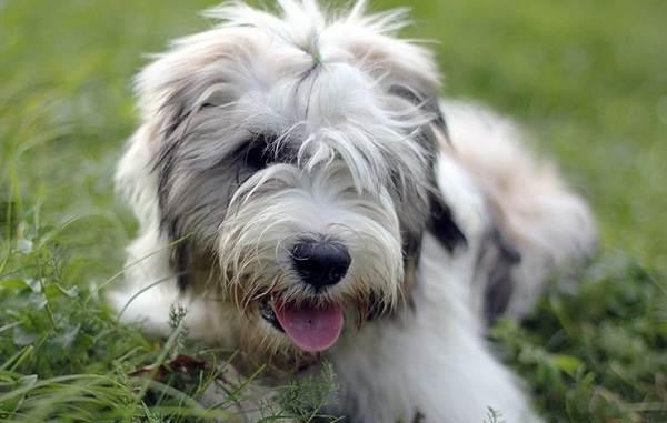 Тибетский-терьер-собака-Описание-особенности-виды-цена-и-уход-за-породой-2